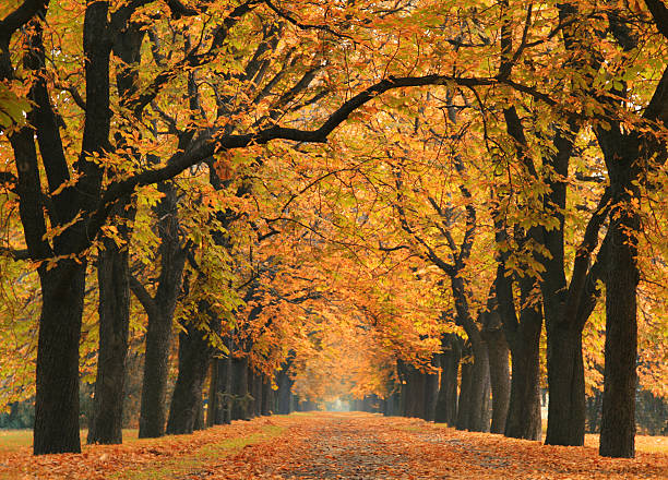 road into the autumn - tree lined boulevard stock pictures, royalty-free photos & images