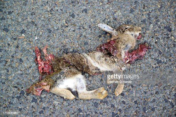 road kill - dead rabbit - dead animal stock pictures, royalty-free photos & images