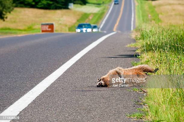 Road Kill: Dead raccoon on side of highway
