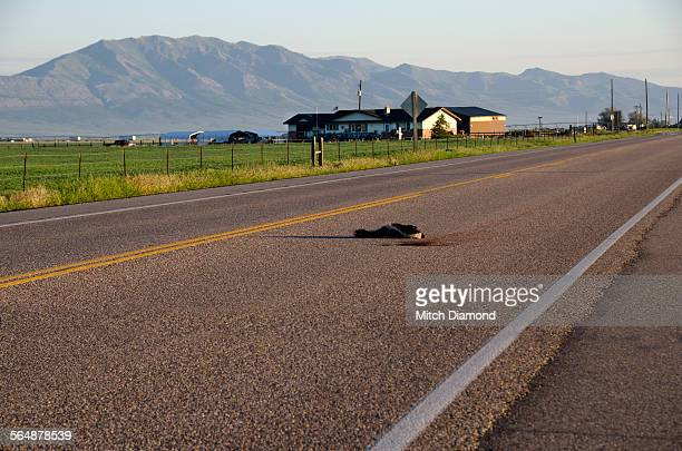 road kill - roadkill stock photos and pictures