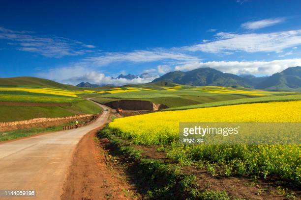 a road leading to the distance in the high crude rape flower field in western china - beauty in nature stock pictures, royalty-free photos & images