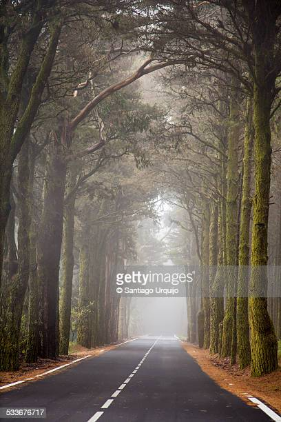 Road lined and covered by pines trees