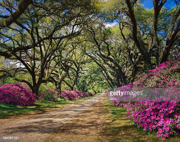 road lined with azaleas and live oak tree canopy, louisiana - live oak tree stock pictures, royalty-free photos & images
