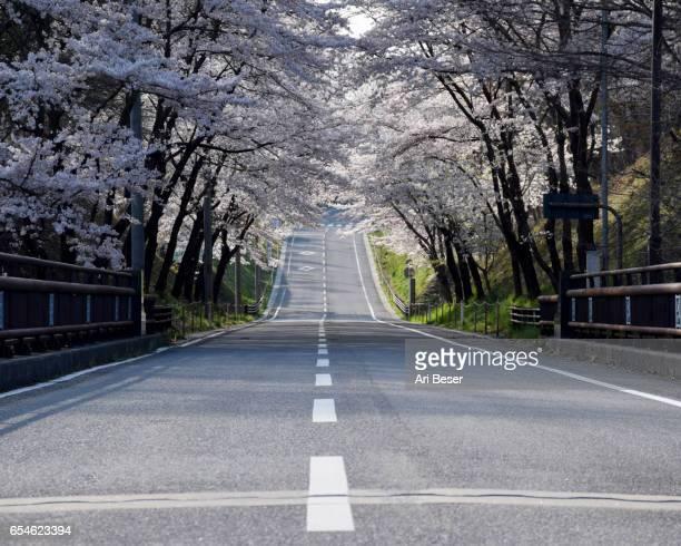 Road of Cherry Trees