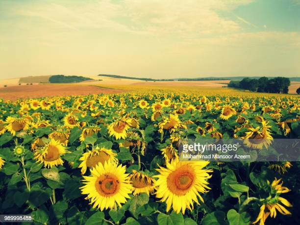 Road of sunflowers