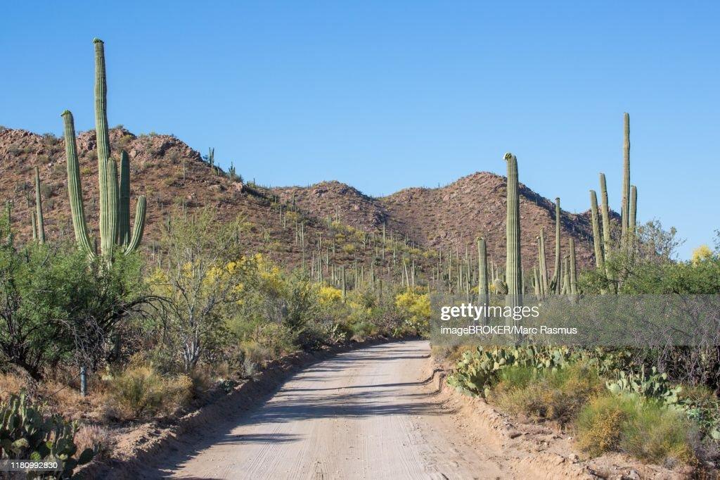 Road through cactus landscape of Saguaro National Park, Tucson, Arizona, USA : Stock Photo