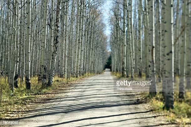 road through grove of aspen trees - thinkstock stock-fotos und bilder