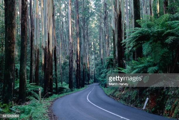 Road Through Mountain Ash Eucalyptus Forest