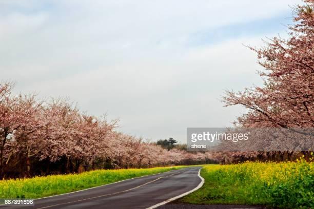 a road with cherry blossom trees - jeju stock-fotos und bilder