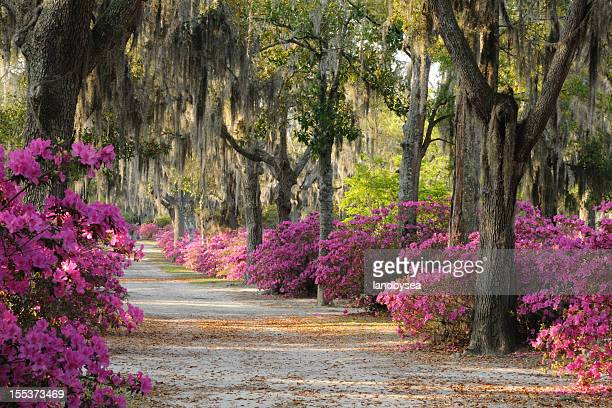 road with live oaks and azaleas in savannah - spanish moss stock pictures, royalty-free photos & images