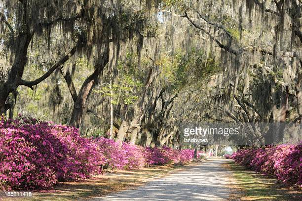 road with live oaks and azaleas in savannah - antebellum stock photos and pictures