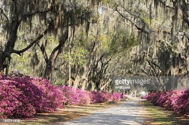 camino de azaleas en vivo oaks y en savannah - musgo español fotografías e imágenes de stock