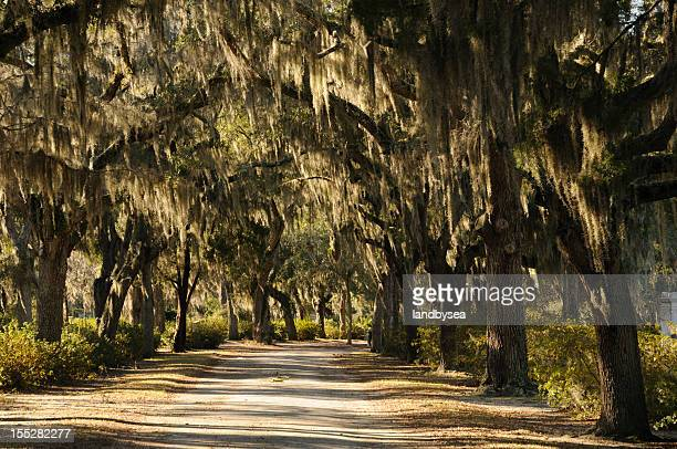 road with live oaks in savannah - antebellum stock photos and pictures
