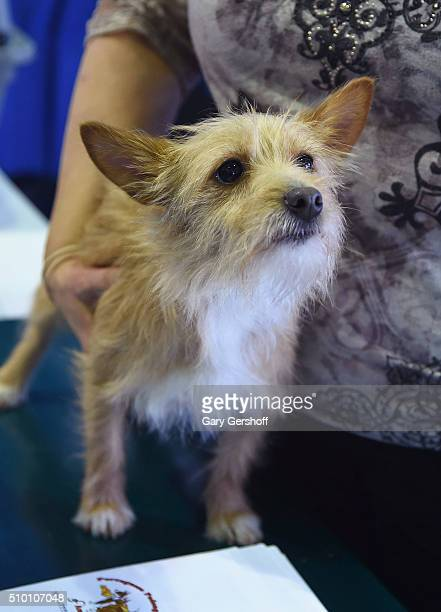 Roada an eighteen month female Portuguese Podengo Pequeno attends the 7th Annual AKC Meet The Breeds at Pier 92 on February 13 2016 in New York City