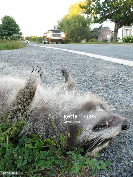 roadkill, north america. - roadkill stock photos and pictures