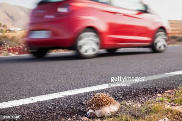roadkilled hedgehog - roadkill stock photos and pictures