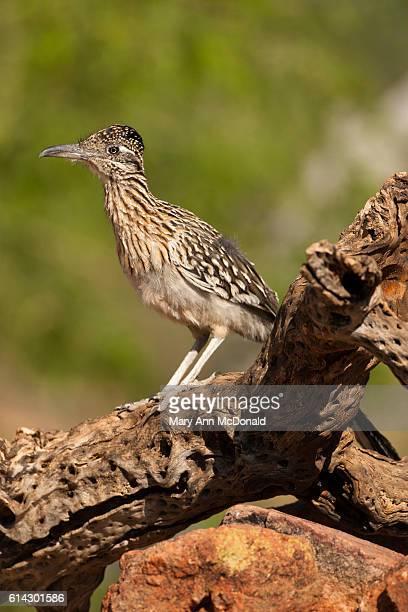 roadrunner near a waterhole in madera canyon, southern arizona - arizona bird stock pictures, royalty-free photos & images