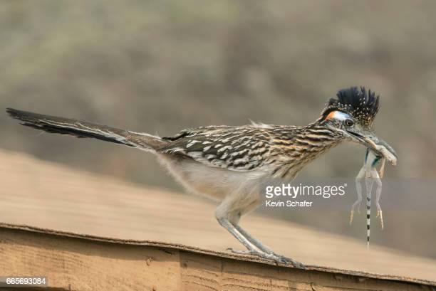 Roadrunner with lizard, California