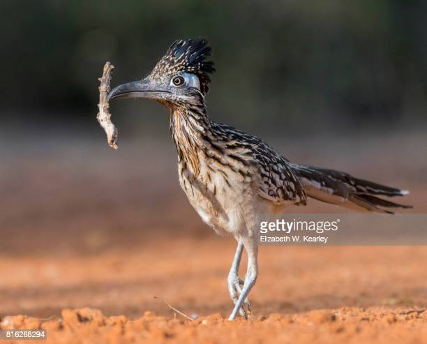 Roadrunner with Stick