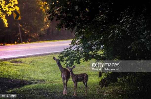 Roadside Deers