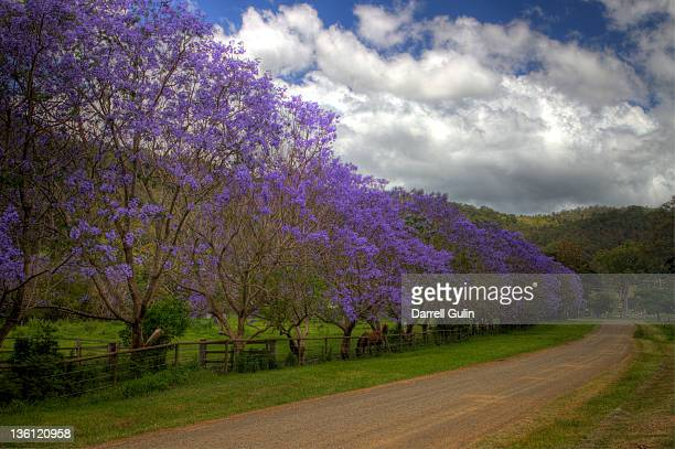 roadway & line of blooming jacaranda trees - jacaranda ストックフォトと画像