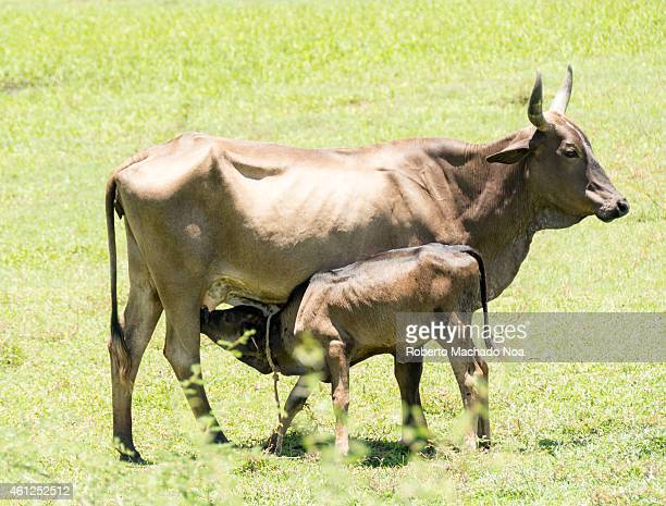 Roaming cattle in a Cuban farm the government prohibits the sacrifice of cattle for meat supply instead they run on a centralized system that...