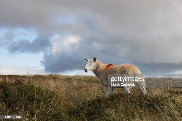 roaming sheep in wicklow mountains - animal markings stock pictures, royalty-free photos & images