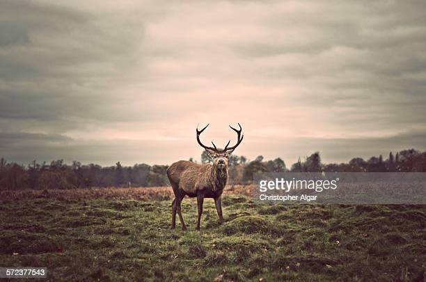 Roaming stag in Bushy Park