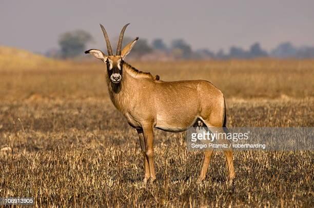 Roan antelope, Busanga Plains, Kafue National Park, Zambia, Africa