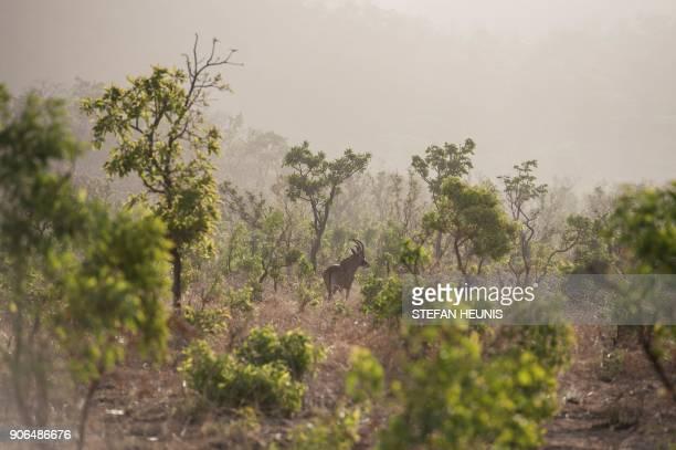 A roan antelope walks in the morning mist in Pendjari National Park near Tanguieta on January 10 2018 Pendjari National Park is one of the largest...