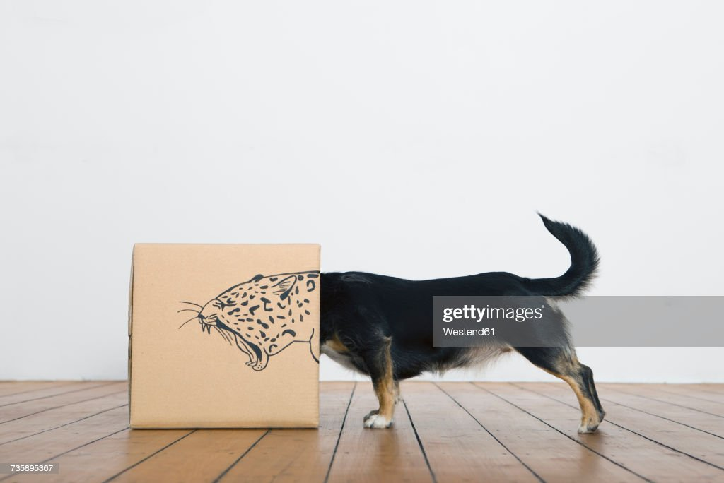Roaring dog inside a cardboard box painted with a leopard : Foto de stock