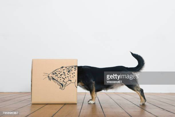 roaring dog inside a cardboard box painted with a leopard - creativity stock-fotos und bilder