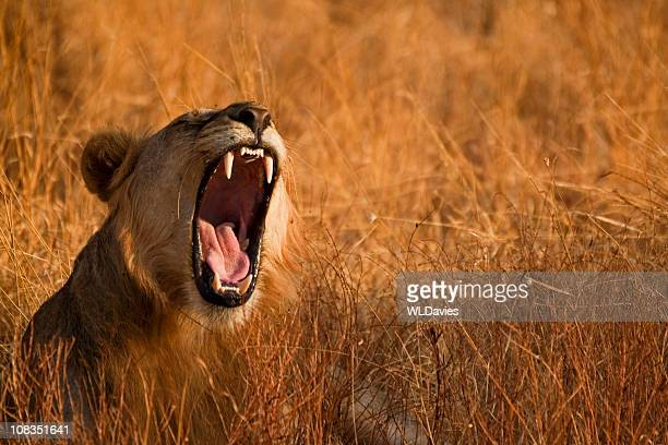 roaring lion - lion roar stock pictures, royalty-free photos & images