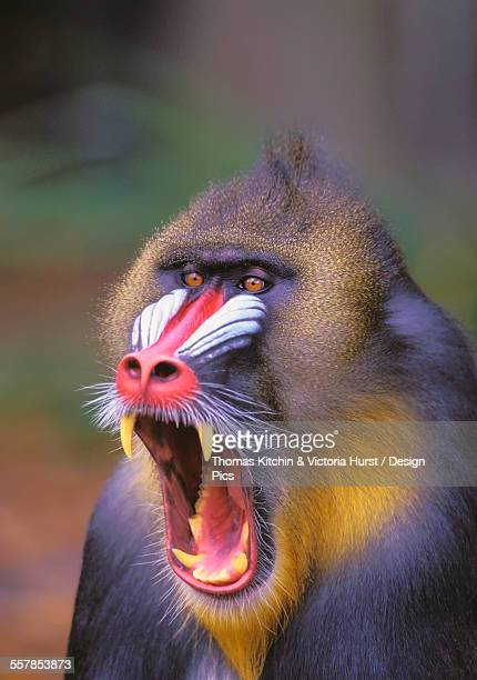 roaring mandrill baboon - fang stock pictures, royalty-free photos & images