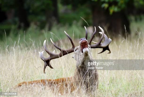 roaring red deer stag (cervus elaphus) - buck teeth - fotografias e filmes do acervo
