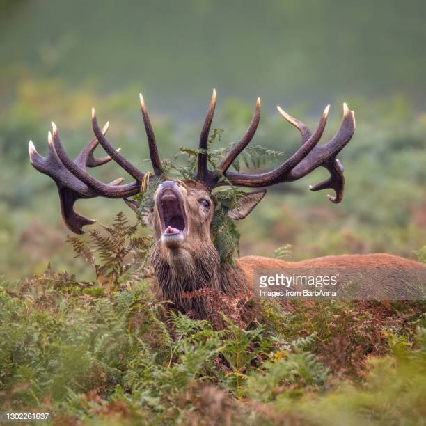 a roaring red deer stag - herbivorous stock pictures, royalty-free photos & images