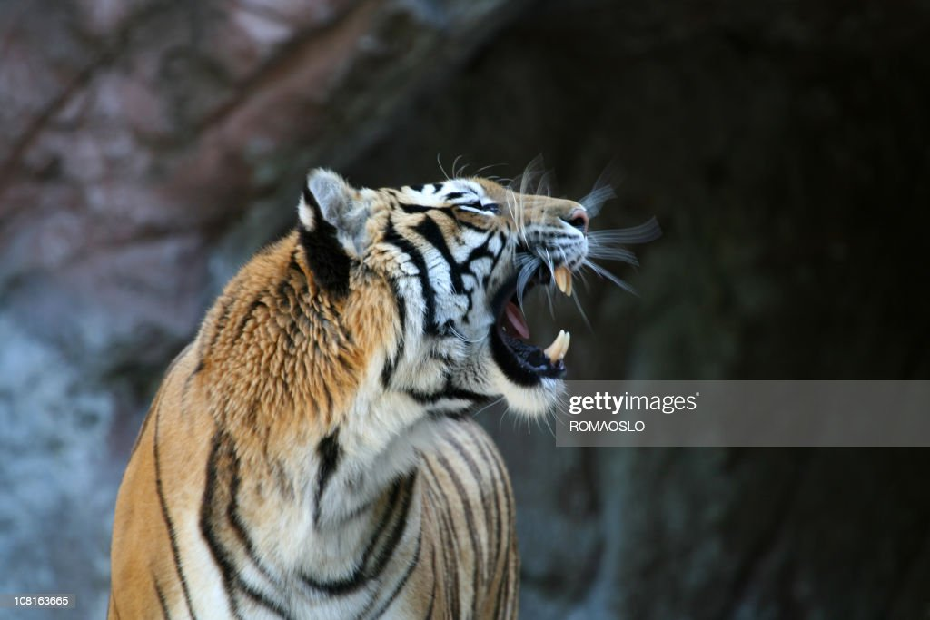 Roaring Tiger With Motion Blur 2 Stock Photo | Getty Images - photo#48