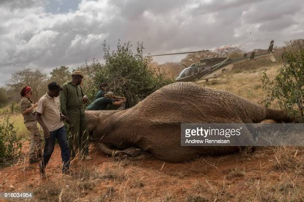 Rob a male African Savannah elephant is surrounded by the collaring team after being sedated during an elephant collaring operation on February 2...
