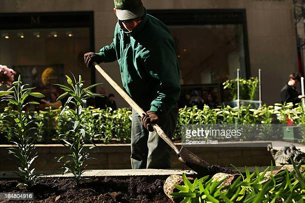 Rob Gleason with the Rockefeller Center Gardens Department plants white Easter lilies and other plants before the upcoming Easter holiday in...