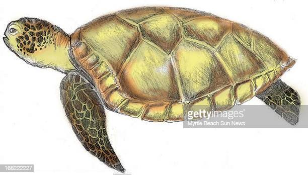 Rob Smoak color illustration of a green sea turtle The Sun News /MCT via Getty Images