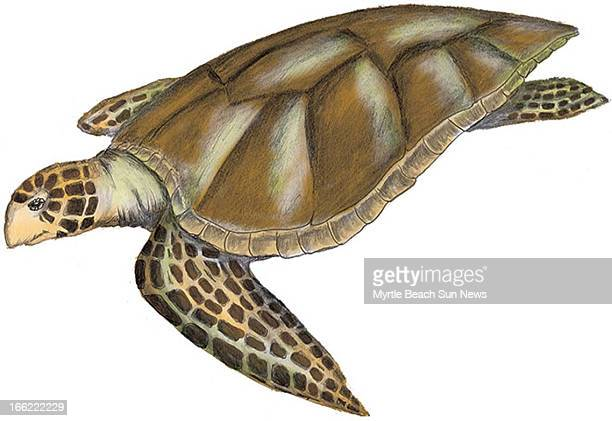 Rob Smoak color illustration of a hawksbill sea turtle The Sun News /MCT via Getty Images