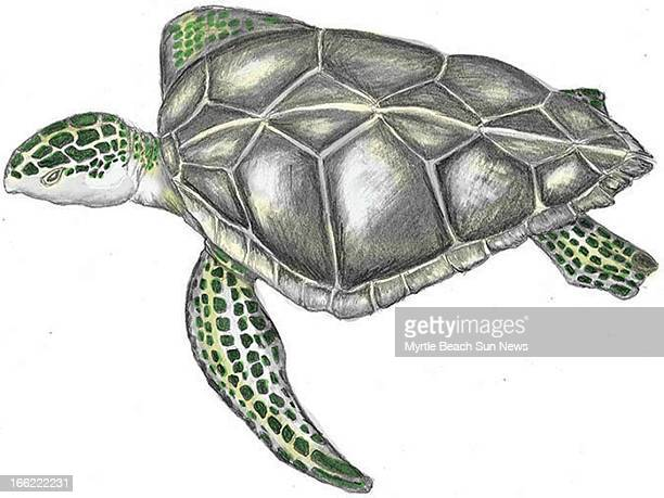 Rob Smoak color illustration of a Kemps Ridley sea turtle The Sun News /MCT via Getty Images