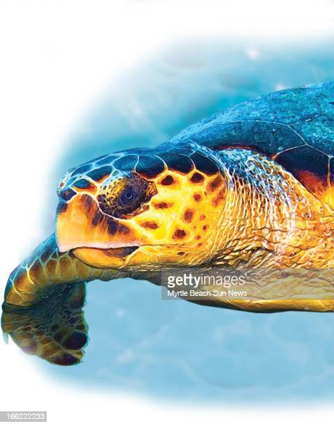 Rob Smoak color illustration of a loggerhead sea turtle The Sun News /MCT via Getty Images