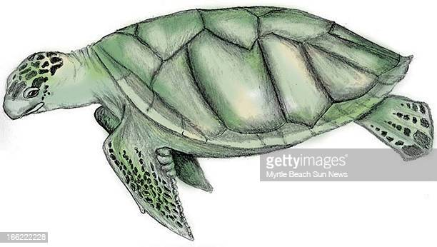 Rob Smoak color illustration of an Australian flatback sea turtle The Sun News /MCT via Getty Images