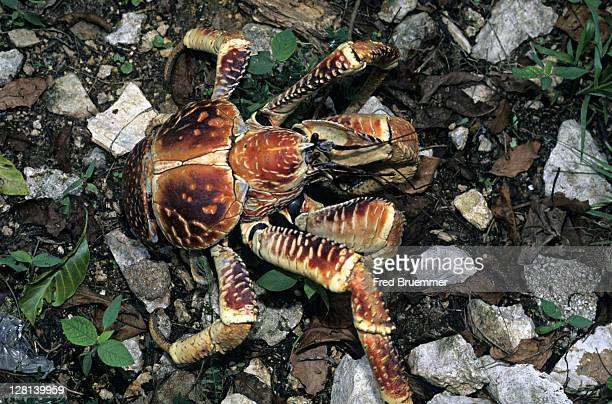 robber aka coconut crab, birgus latro, worlds biggest land crustacean, christmas island - coconut crab stock pictures, royalty-free photos & images