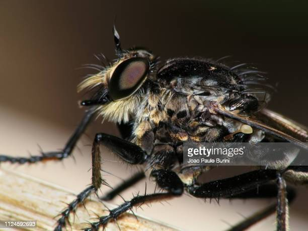 robber fly macro - sorocaba stock pictures, royalty-free photos & images