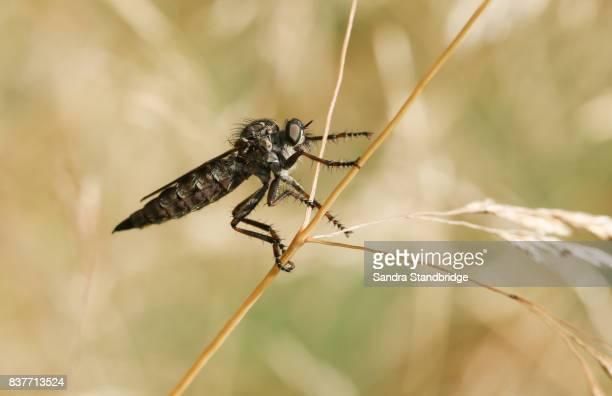 a robber fly (machimus cingulatus) perched on a grass. - hertford hertfordshire stockfoto's en -beelden