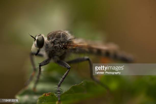 robber fly - ugly spiders stock photos and pictures
