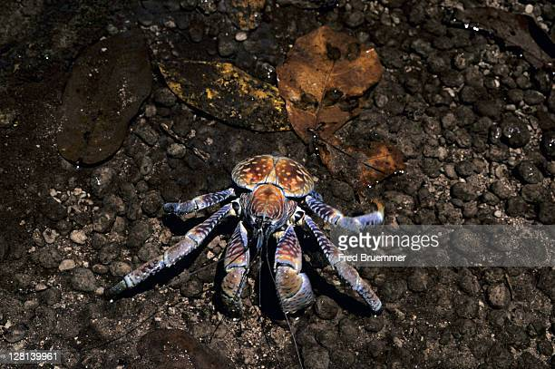 robber or coconut crab, birgus latro, is the largest land crustacean in world, christmas island, indian ocean - coconut crab stock pictures, royalty-free photos & images