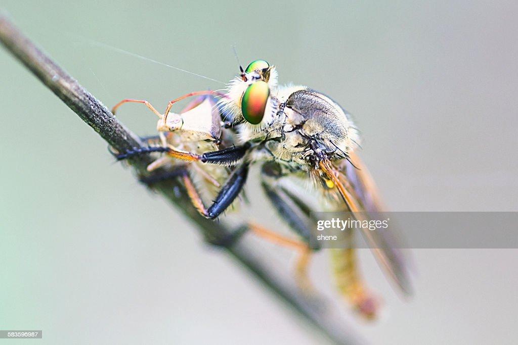 Robberfly feeds from a Lygus Bug : Stock Photo